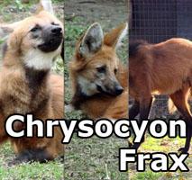 chrysocyonfrax